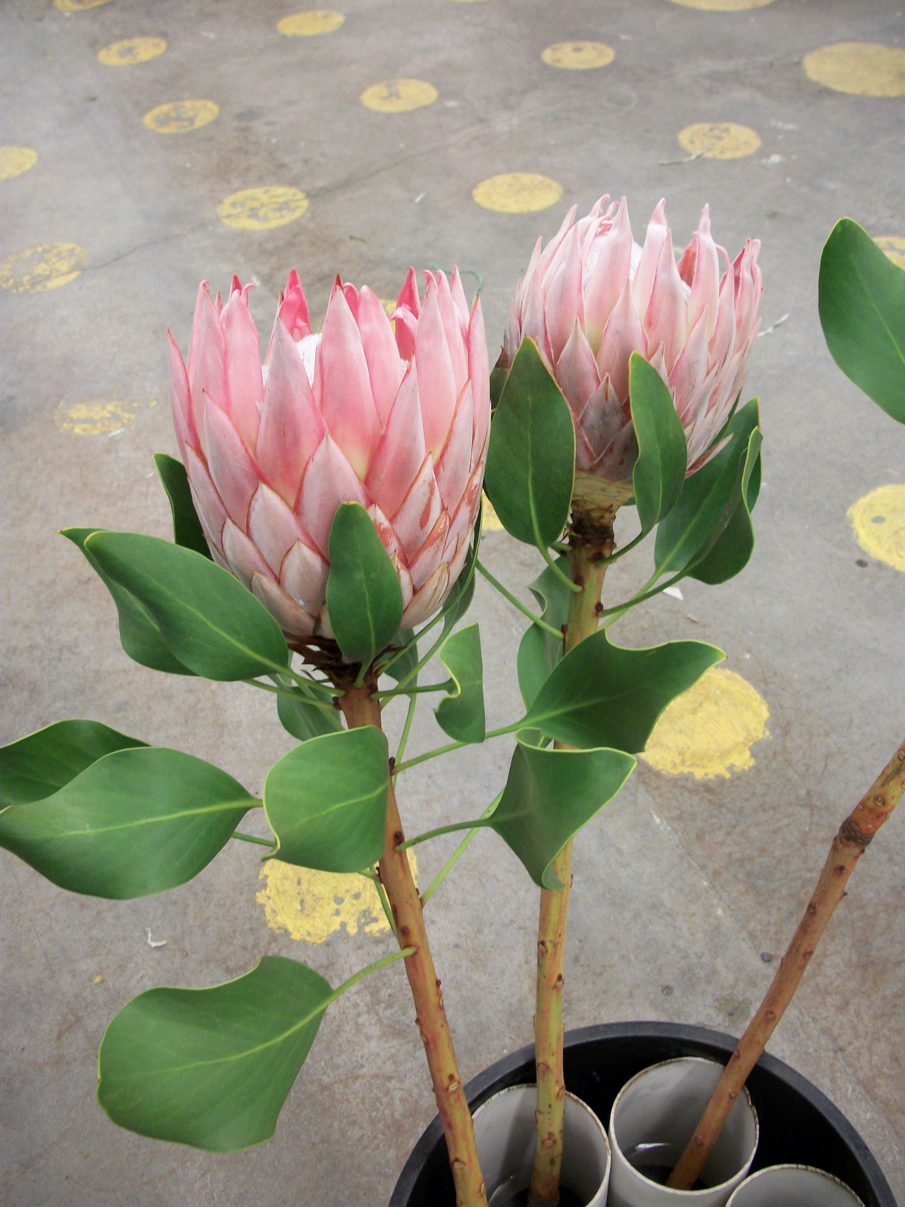 Queen Protea